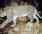 Nearer Asian or Caucasus leopard(<i>Panthera pardus ciscaucasica</i>). Captured in a camera trap in 2007, Armenia.
