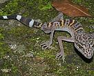 Cat Ba leopard gecko (Goniurosaurus catbaensis) found exclusively in Cat Ba Island National Park in northern Vietnam. 