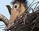 Lesser adjutant in its nest in the Mekong flooded forest