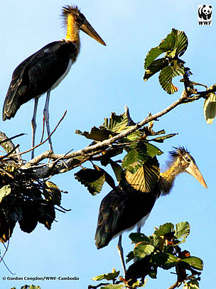 Lesser adjutant chicks
