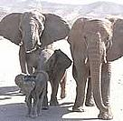 Desert elephant herd on Torra Conservancy land / ©: WWF-Canon / Jan Vertefeuille