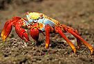 Sally lightfoot crab (&lt;i&gt;Grapsus grapsus&lt;/i&gt;), Isabela Island, Galapagos Islands, ... / &copy;: WWF-Canon / Pablo CORRAL