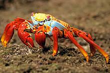 Sally lightfoot crab (Grapsus grapsus), Isla Isabela, Islas Galápagos, Ecuador.
