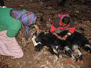 Livestock in Lingshi, Gasa killed by wild animals