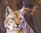 Lynx (lynx lynx), Italy
