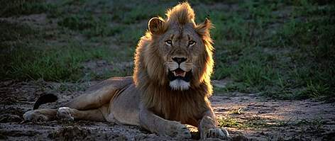 The male lions mane increases his apparent size, serves as an visual indication of gender from long ... rel=