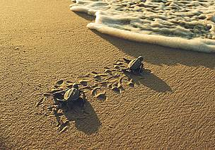 Two little leatherback turtles are heading to the sea. Rising sea levels will threaten their beach ... / ©: WWF-Canon / Roger LeGUEN