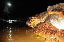 First 21st century Loggerhead for the Guianas