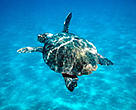 Loggerhead turtle swimming in the Mediterranean Sea. Zákinthos, Lagana Bay, Greece.