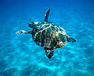 Loggerhead turtle (<i>Caretta caretta</i>) swimming in open sea.