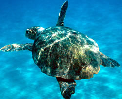 Some 200,000 endangered loggerhead turtles (&lt;i&gt;Caretta caretta&lt;/i&gt;) drown annually on ... / &copy;: WWF-Canon / Michel GUNTHER