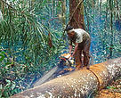 Illegal logging, Riau Province, Sumatra, Indonesia