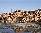 Loggers in Russia's Far East increasingly are cutting down Korean cedar pine, raising concerns that the endangered Amur tiger could lose critical habitat and its prey could lose a major food source.