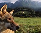 Lupul (Canis lupus)