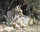 An female Iberian lynx resting in Spain's Doana National Park.