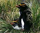 Macaroni penguin (&lt;I&gt;Eudyptes chrysolophus&lt;/I&gt;).