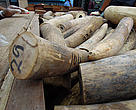 The seizure of 1500 pieces of ivory is the biggest ever in Malaysia.