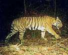 Tiger caught by the camera trap.&lt;BR&gt;