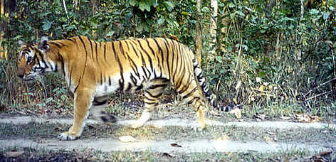 Malupothi is one of the tigers whose whereabouts have been monitored by &quot;camera traps&quot;. ... rel=