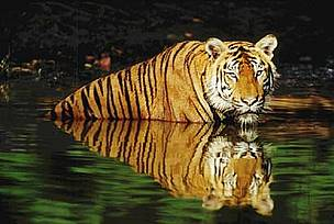 Indian tiger (&lt;i&gt;Panthera tigris tigris&lt;/i&gt;) swimming in the water. / &copy;: WWF-Canon / Martin HARVEY