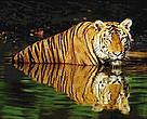 Indian tiger (&lt;i&gt;Panthera tigris tigris&lt;/i&gt;) swimming in the water.