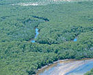 A healthy stand of mangrove forests in the Kiunga Marine Reserve area, where controlled extraction can be done sustainably.