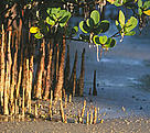 Mangrove roots, Mafia Island, Tanzania. / &copy;: Edward Parker / WWF-Canon