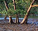 Healthy mangrove forests mean more fish on nearby coral reefs.