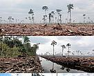Peat draining and large-scale clearance of natural forest by APP wood supplier PT. Ruas Utama Jaya inside APPs Senepis Tiger Sanctuary in June and October 2011. Arrows next to photo numbers in map (top right) indicate directions photos were taken. 