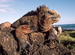 Marine iguana (<i>Amblyrhynchus cristatus</i>), the only sea-going lizard in the world, ... / ©: WWF-Canon / Martin HARVEY