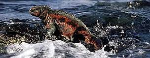 Marine iguana (Amblyrhynchus cristatus) - the only sea-going lizard in the world, Galapagos ... / ©: WWF-Canon / Martin HARVEY