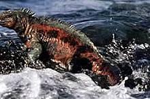 Iguana marina  (Amblyrhynchus cristatus) - el único lagarto marino en el mundo, Isla Galápagos, Ecuador.