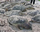 Green and hawksbill turtles were among the 144 killed in nets of the north-west coast of Borneo.