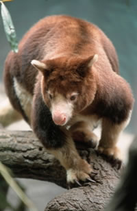 Matschie's tree kangaroo (Dendrolagus matschiei), one of Papua New Guinea's unique species. / ©: WWF-Canon / Chris Martin Bahr