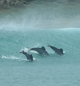 Maui's dolphins, North Island, New Zealand. / ©: Kirsty Russell