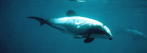 Numbering around 100, the Mauis dolphin (Cephalorhynchus hectori maui) is classified as critically ... rel=