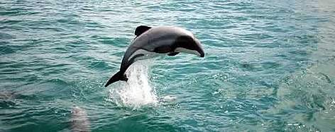 The overall aim of the WWF programme is to protect the future of Mauis dolphins by securing a ... rel=