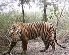 An adult tiger captured in a camera trap in the Shuklaphanta Wildlife Reserve of western Nepal.  / ©: WWF Nepal
