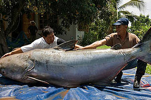 The Mekong giant catfish is part of a historical Lao and Thai fishery. Local culture considers the animal a