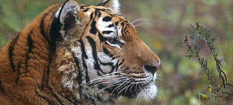 Amur tiger in the rehabilitation center of the wild animals &quot;Utyos&quot; near Khabarovsk ... rel=