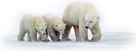 Mother Polar bear (Ursus maritimus) with her cubs walking on ice near Churchill, Manitoba, Canada. rel=