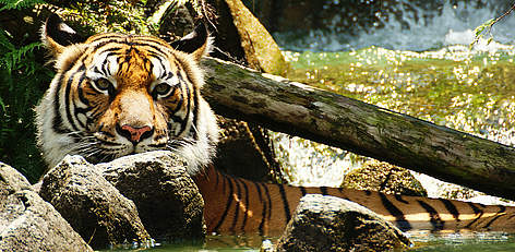 Indochinese tiger (Panthera tigris corbetti) is only found in the Greater Mekong region of ... rel=