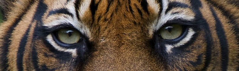 Sumatran tiger (Panthera tigris sumatrae) / &copy;: naturepl.com / Edwin Giesbers / WWF