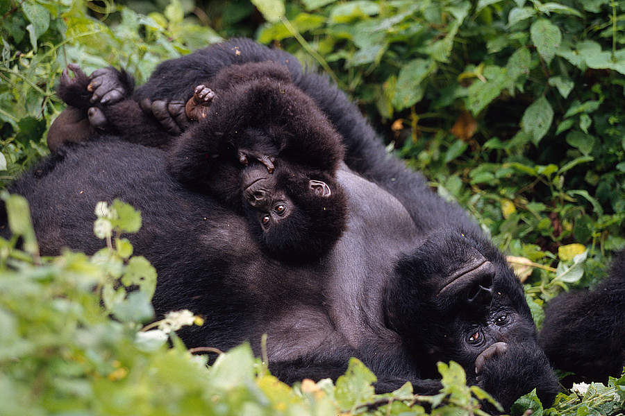Wwf Pictures Of Gorillas In The Wild And In Rehabilitation