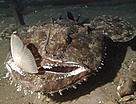 Deep-sea monkfish (&lt;i&gt;Lophius piscatorus&lt;/i&gt;) capturing a cod species at a depth of ... / &copy;: WWF-Canon / Ian HUDSON