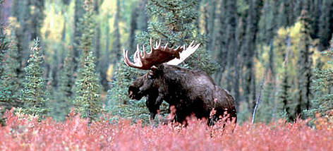 Bull moose, Koyukuk River, Gates of the Arctic Alaska, USA. rel=