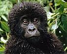 Young mountain gorilla (&lt;I&gt;Gorilla gorilla beringei&lt;/I&gt;).