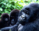 Mountain gorillas (<I>Gorilla beringei beringei</I>), Virunga National Park, Democratic Republic of Congo.