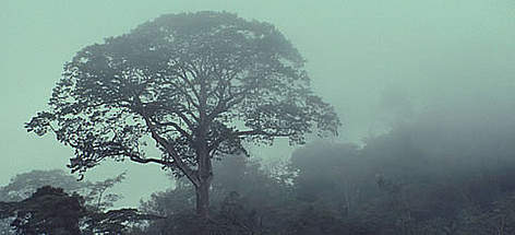 Tree silhouette in mist, Mt Kupe, Cameroon. rel=
