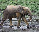 Yellow mud gives a distinct look to this forest elephant in Dzanga-Ba, Central African Republic.
